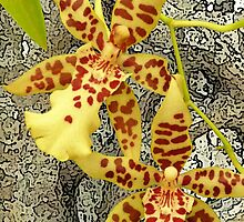 Rainforest strangler fig and orchids by Leonie Mac Lean