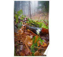Misty Hepatica (Anemone hepatica) Poster