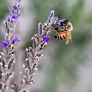 Bizzy Bee Pollinating by heatherfriedman