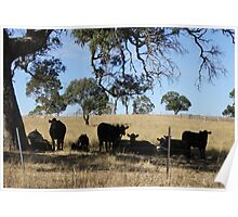 Black Angus Cattle taking advantage of the shade. Mt. Pleasant. Poster