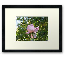 Sweet Frustration - The Rose Beyond The Wall Framed Print