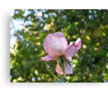 Sweet Frustration - The Rose Beyond The Wall Canvas Print
