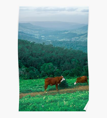 Country Cows  Poster