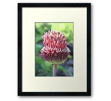 Close Up of An Ornamental Onion or Drumstick Allium Framed Print