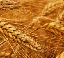 Grain Field Sticker