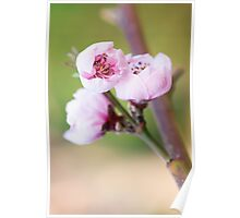 Spring pink cherry blossom with green background Poster
