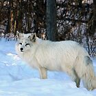 Arctic Fox by vette