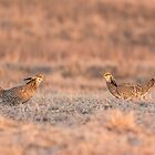 Prairie Chickens 2013-1 by Thomas Young
