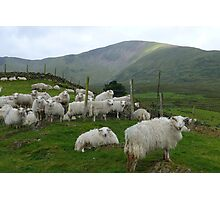 Welsh sheep in the foothills of Snowdon. Photographic Print