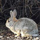 Cottontail Rabbit, Santa Fe, New Mexico by lenspiro