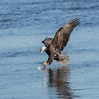 The Great American Bald Eagle 2016-8 by Thomas Young