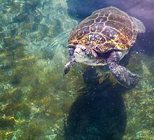 Green sea turtle (Chelonia mydas) swimming.  by PhotoStock-Isra