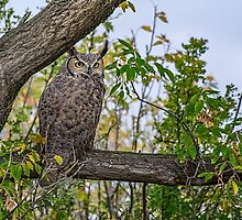 Great Horned Owl Pose by Patrick Kavanagh