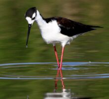 Black Necked Stilt Hunting for Food Sticker