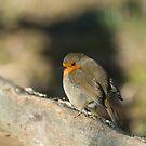 Robin by Sue Robinson