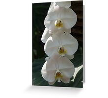 White Orchid Trio - Exotic Elegance Times Three Greeting Card