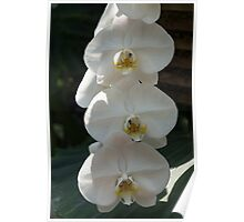 White Orchid Trio - Exotic Elegance Times Three Poster