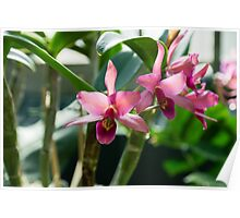 Pink Orchids - Exotic Tropical Glow Poster