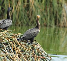 Neotropical Cormorants Next to a Lake by rhamm