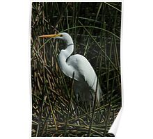 Great Egret in a Lake Poster