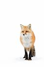 Red fox pose - Algonquin Park by Jim Cumming