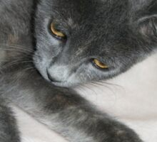 Cute Grey Kitten Relaxing Sticker