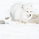 Running Arctic Fox by Yannik Hay