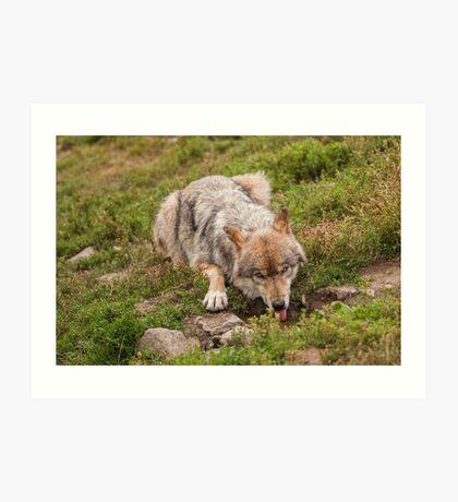 Wolf drinking Art Print