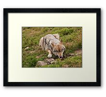 Wolf drinking Framed Print