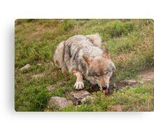 Wolf drinking Metal Print
