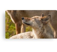 Wolf enjoying the sun Metal Print