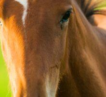 Foal in evening light Sticker