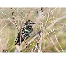 Starling In The Sun! Photographic Print