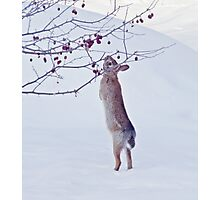 Crabapple Snow Bunny Photographic Print