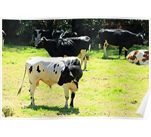 Bull and Cows in a Pasture Poster