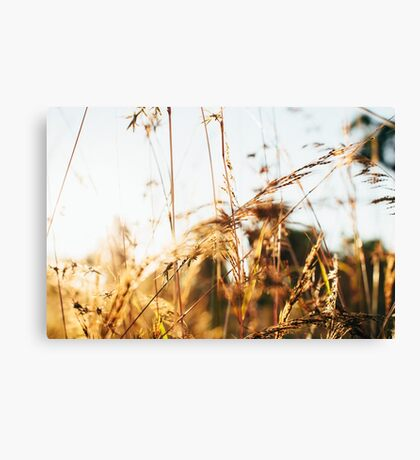 Close-up of Grass in Golden Sunset Light Canvas Print
