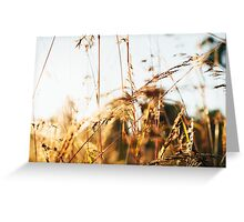 Close-up of Grass in Golden Sunset Light Greeting Card