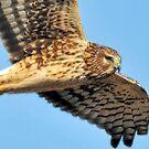 Mystical Hawk by Kenneth Haley