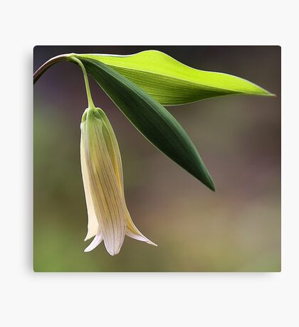Sessile Bellwort (Wild Oats) Canvas Print
