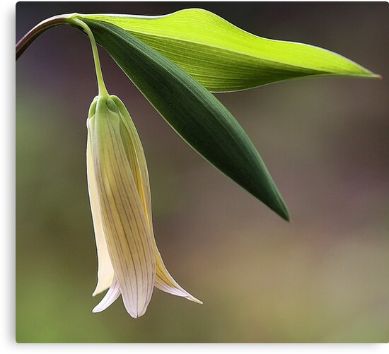 Sessile Bellwort (Wild Oats) by T.J. Martin