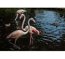 The Flamingo Knot Photographic Print