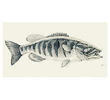 Small Mouth Bass Photographic Print