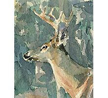 Whitetail Deer no. 3  watercolor Photographic Print