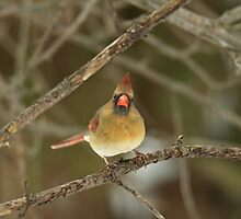 THE HARIDAN - Northern Cardinal - Cardinalis cardinalis  by MotherNature