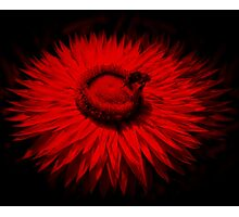 Bee On A Red Flower Photographic Print
