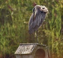 Grooming Great Blue Heron by Dana Davis
