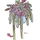 Rattail Cactus sketch by Maree Clarkson