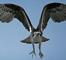 Classic Osprey by jozi1