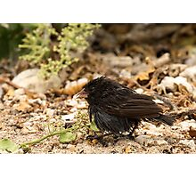 Cactus finch Photographic Print