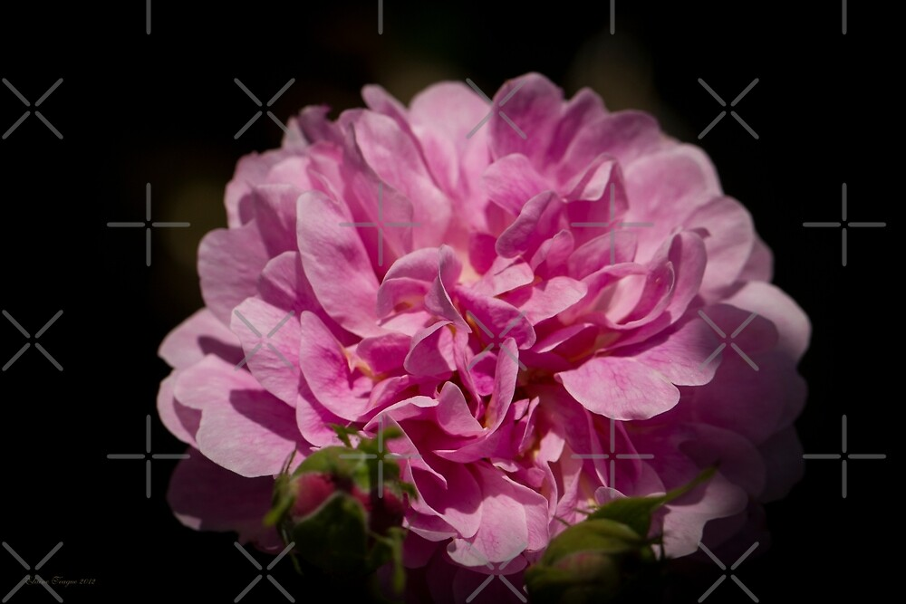 The Perfect Rose by Elaine Teague